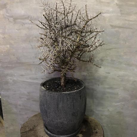 アローディア コモサ 塊根植物 コーデックス