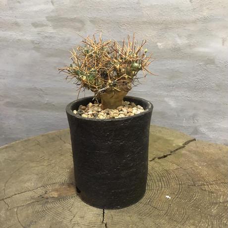 オトンナ ユーフォルビオイデス 26 黒鬼城 信楽鉢 コーデックス 塊根植物