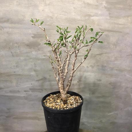 センナ メディオナリス 40 潅木 塊根植物 コーデックス 現地球