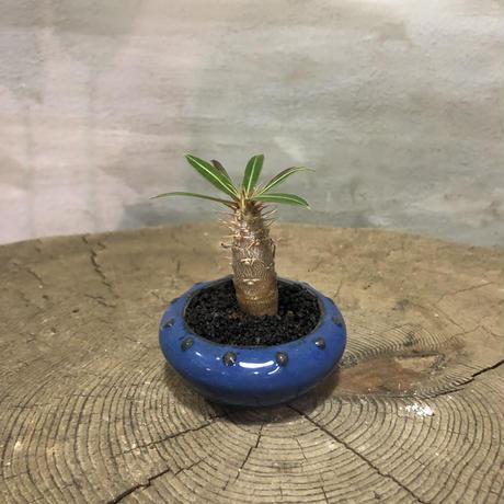パキポディウム  カクチペス 10 実生 塊根植物 コーデックス