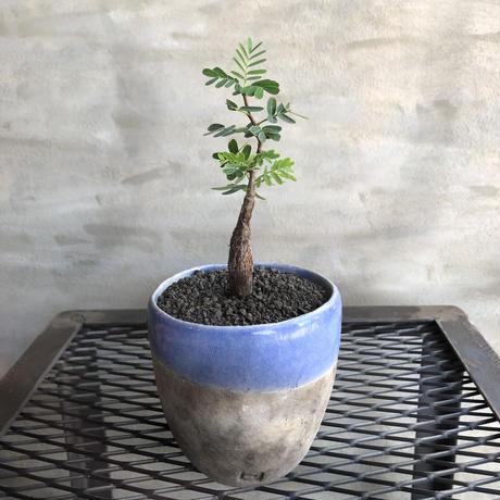センナ メディオナリス 実生 2 DOMANI FES8 潅木 塊根植物 コーデックス