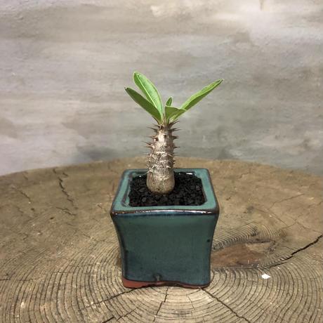 パキポディウム  マカイエンセ 38 実生 塊根植物 コーデックス