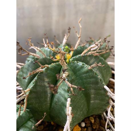 ユーフォルビア  バリダ 塊根植物 コーデックス