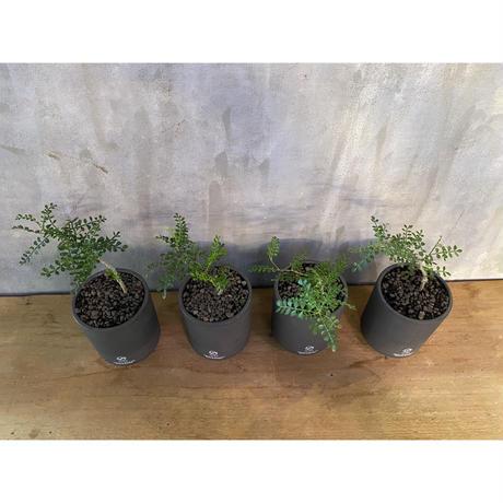 オペルクリカリア パキプス 実生株 × valiem ブロック high Sサイズ  塊根植物 コーデックス 多肉植物