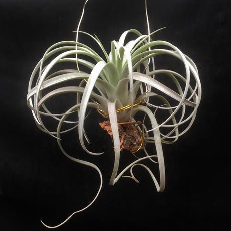 Tillandsia Crowning Glory (Xerographica × Exserta)