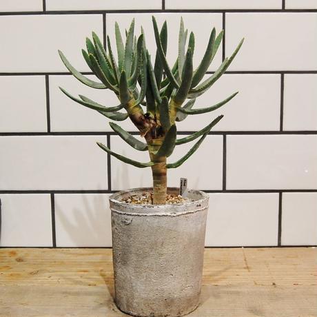 Aloe ramosissimaアロエ ラモシシマ