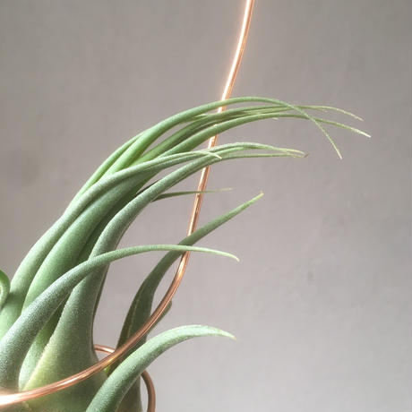 "Tillandsia Seleriana ""Mini  purple"""