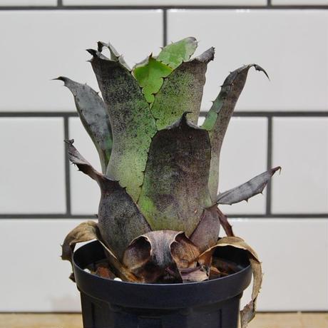 Hohenbergia leopoldo horstii ホヘンベルギア レオポルドホルスティ