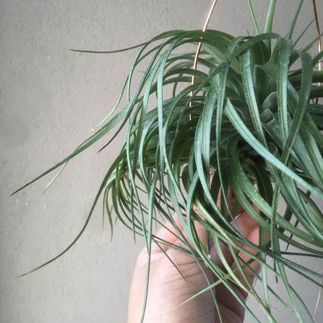 Tillandsia Stricta  cousin it