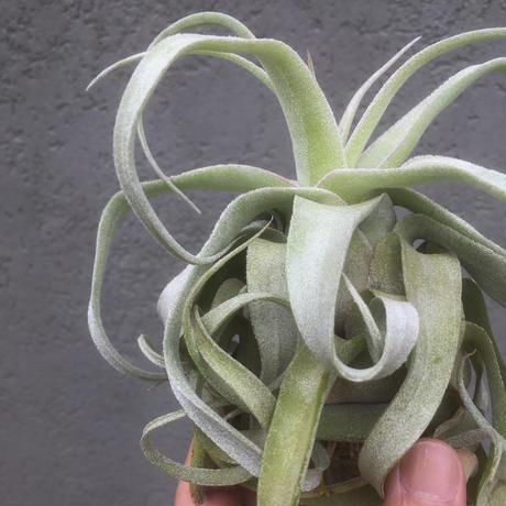 Tillandsia Regal Rene (Streptophylla x Chiapensis)