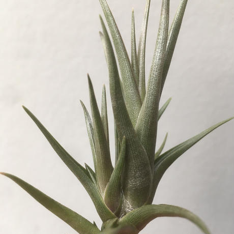 Tillandsia Zecherii
