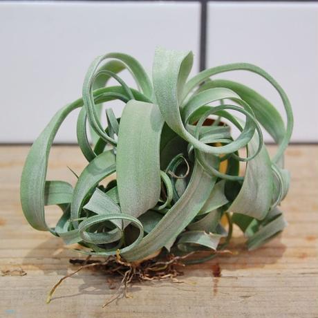 Tillandsia curlyslim  チランジア カーリースリム