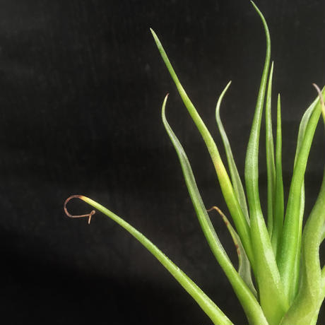 Tillandsia showtime ( Bulbosa × Streptophylla)