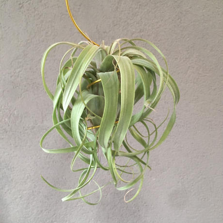 Tillandsia Curly Polly (Streptophylla x Polystachia)