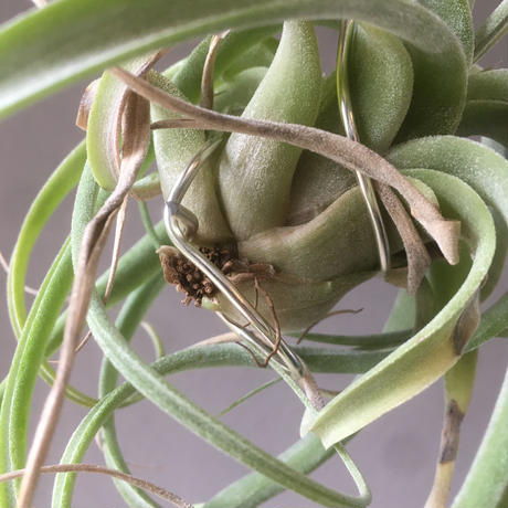 Tillandsia Lucille  ( ehlersiana ×  streptophylla)