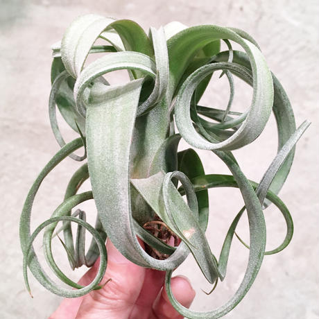 Tillandsia curlyslim  チランジア カーリースリム Mサイズ