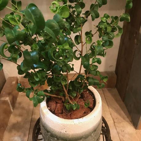 ベンジャミナバロックの鉢植え