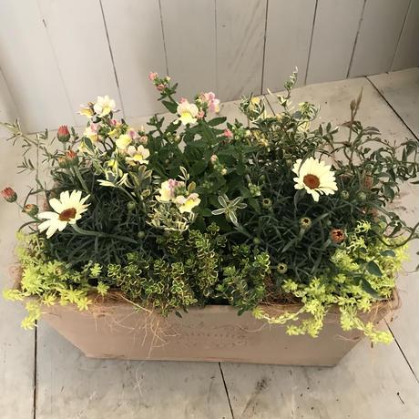 ベージュの樹脂鉢の寄せ植え