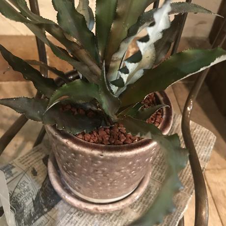 クリプタンサスの鉢植え