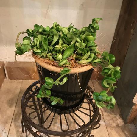 ホヤ カルノーサコンパクタの鉢植え