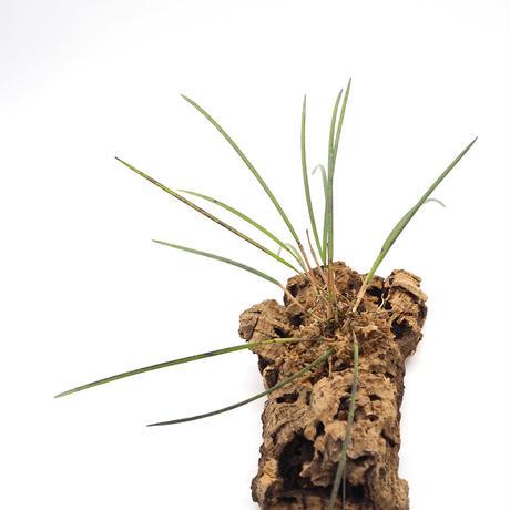 Octomeria.gracilis