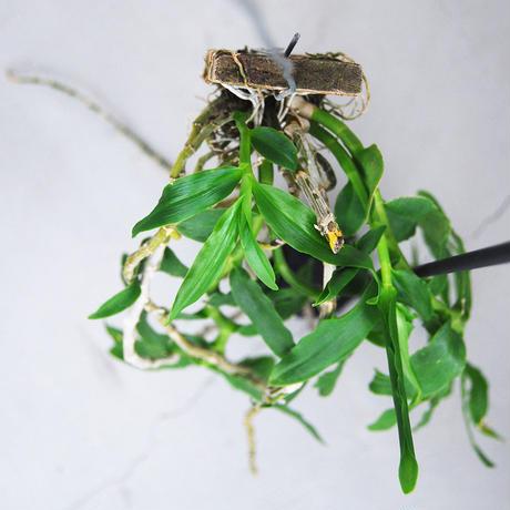 Den.cretaceum
