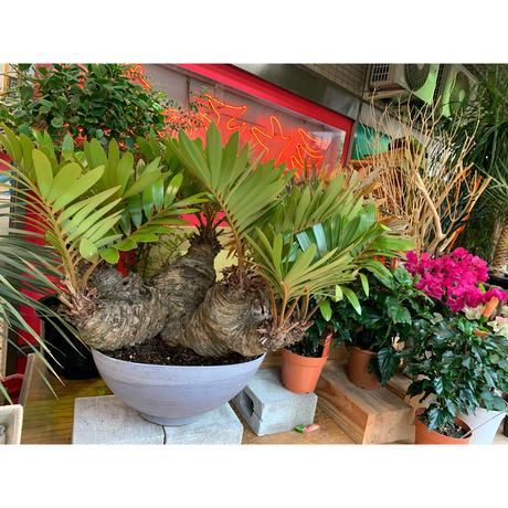 【観葉植物】メキシコソテツ(ヒロハザミア)希少価値 現品
