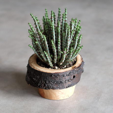 FUQUGI 樹皮付き植木鉢 (実物写真)