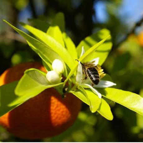 純粋オレンジ蜂蜜 メキシコ産 300g