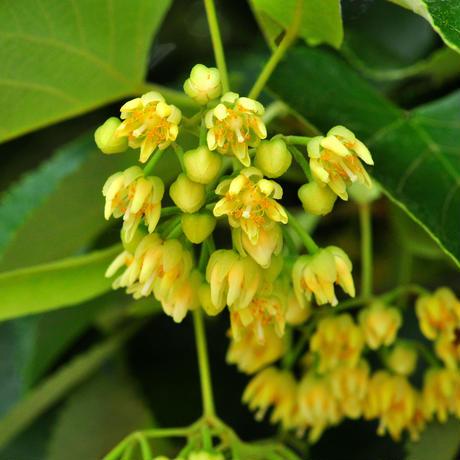 国産純粋はちみつ 菩提樹 300g