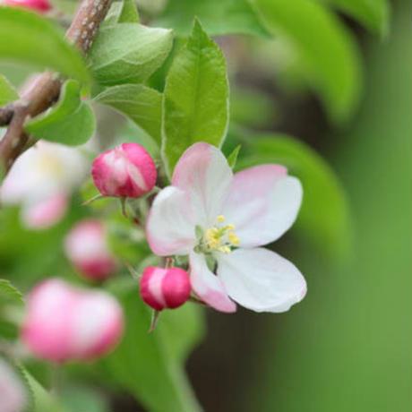 国産純粋はちみつ りんご 300g