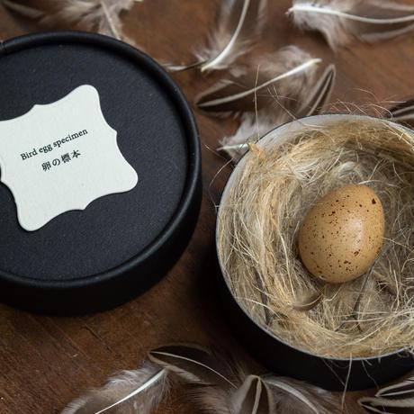 Bird egg specimen -ヒメウズラの卵標本-