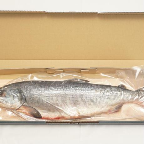 北海道産(オホーツク海天然鮭厳選 )新巻鮭 1尾(約2.7kg)【AR-1】