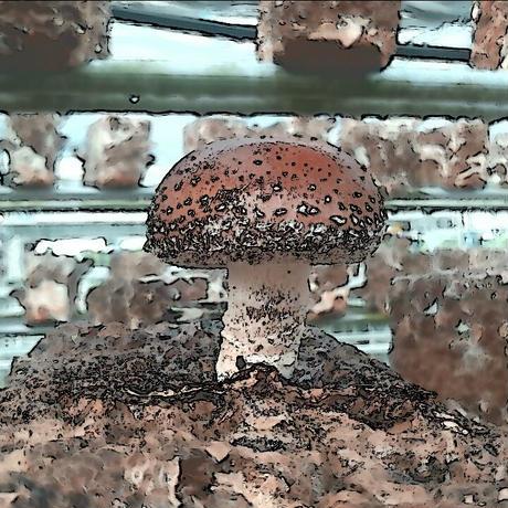 椎茸農家直伝!しいたけ菌床栽培キット
