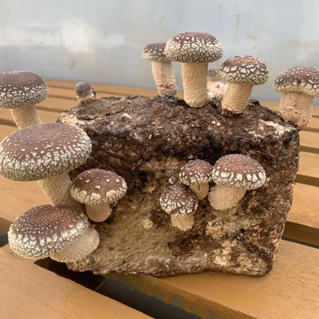 おウチでシイタケ育てよう!菌床4個