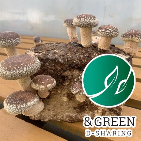 【CO₂オフセット済み商品 エコしいたけ栽培】おウチでシイタケ育てよう!菌床 4個