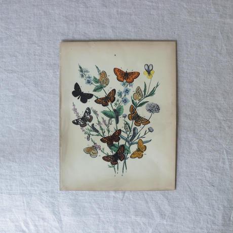 チョウの博物画