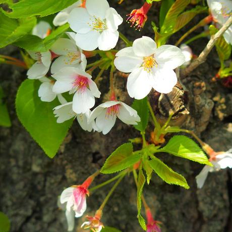 桜の葉 30日用
