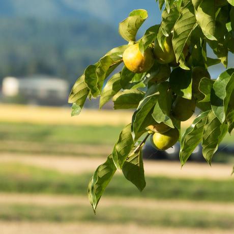 柿の葉 90日用