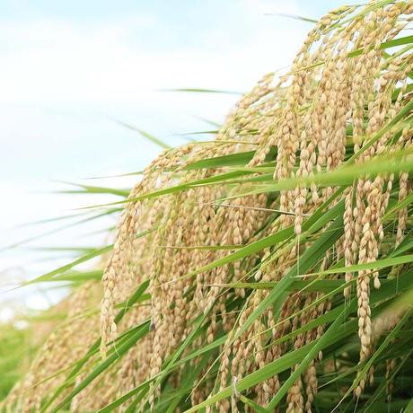 【新米】農薬不使用米 10㎏ (令和3年産)