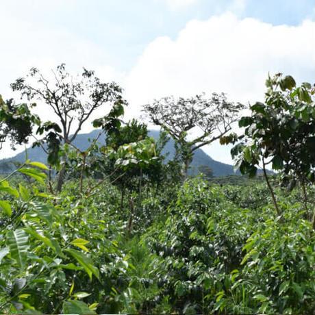 El Salvador Loma La Gloria Yellow Honey / 100g