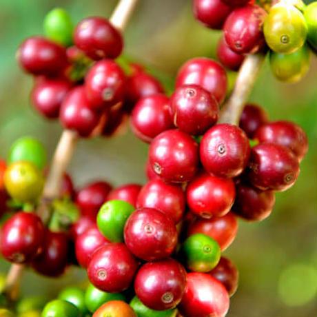 グァテマラ SHB / 500g(カフェインレス・デカフェ)