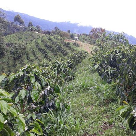 コロンビア ラスフローレス農園EX / 400g(カフェインレス・デカフェ)