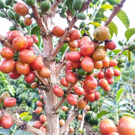 コロンビア ラスフローレス農園EX / 200g(カフェインレス・デカフェ)