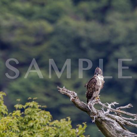 王者の風格(クマタカ)写真集 Art Of Wildbird 掲載作品