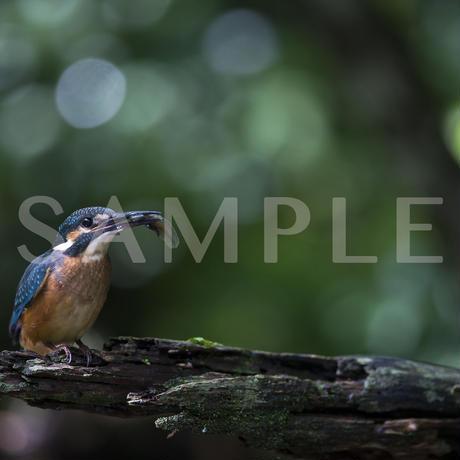 緑色の光(カワセミ)写真集 Art Of Wildbird 掲載作品