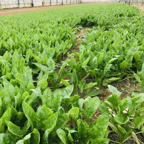 ほうれん草1束(350g)(カンシロー農園:船橋市印内)