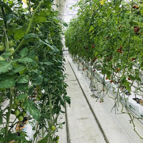ミニトマト「アイコ」1袋(三須トマト農園:船橋市印内)