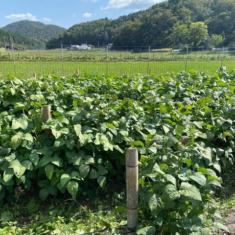 丹波篠山ふたば農園の黒枝豆2.2kg(枝付き箱入)【篠山市認定販売所】