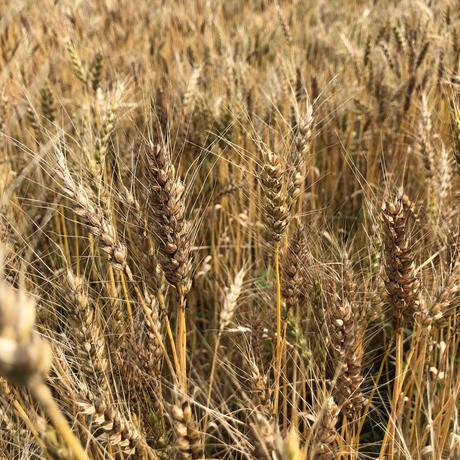 【セミナー】無肥料でつくる「小麦の会 2021」《郡上》